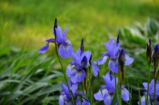 Irises in Shade